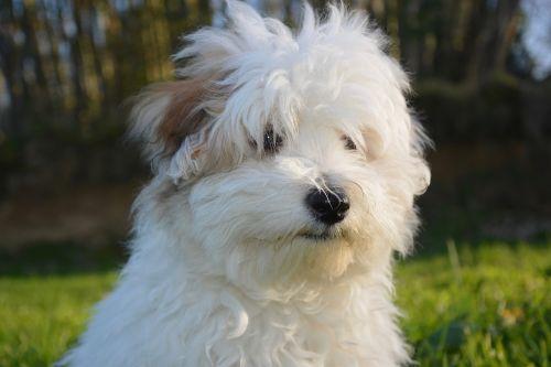 dog puppy cotton tulear