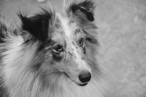 dog bitch shetland sheepdog