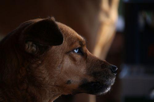 dog hybrid eyes