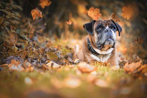 dog boxer autumn
