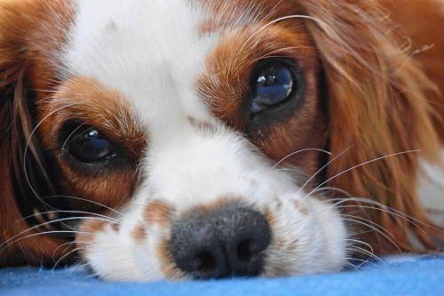 dog cavalier king charles cavalier