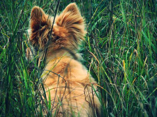 dog redhead ears