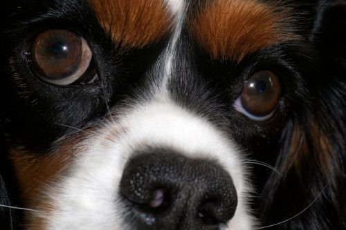 dog cavalier king charles cute