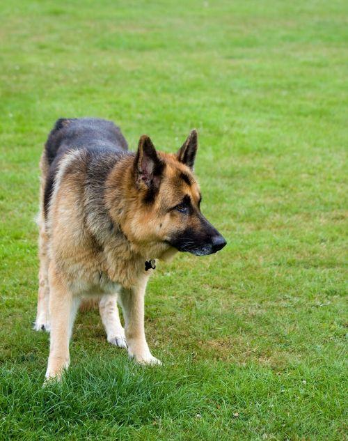 dog german shepherd alsatian
