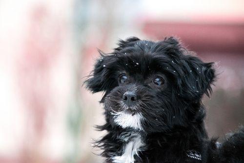 šuo,mielas,gyvūnas,mažas,žinduolis,šuniukas,hibridas,sniegas