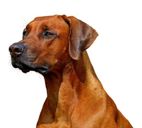 dog isolated hundeportrait