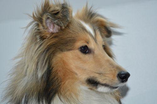 dog bitch nayana shetland sheepdog