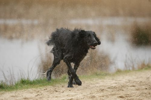 dog shaking flatcoated retriever