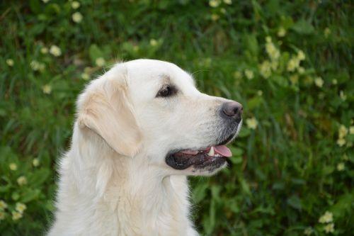 dog profile of dog golden retriever