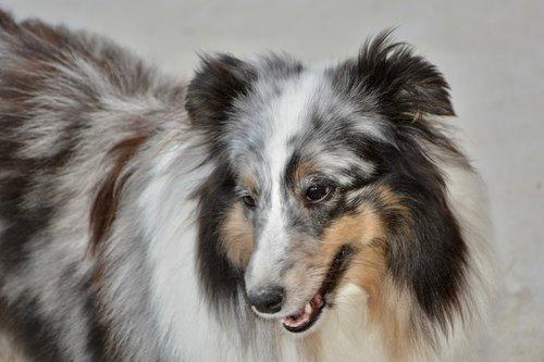 dog  bitch mirage  shetland sheepdog