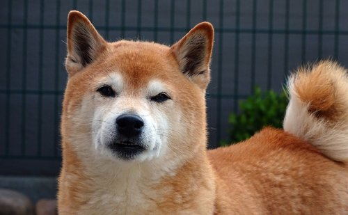 dog  dog head  portrait