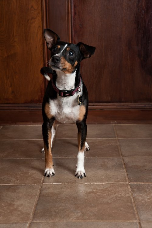 šuo, mielas, šuniukas, gyvūnas, vidaus, mažas, ieško, žinduolis