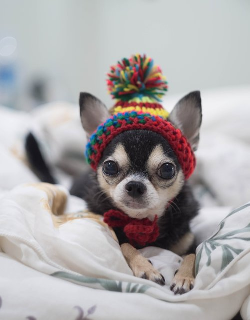 šuo, Čihuahua, , lėlės, tee puodelio, mažai, Šuo lėlės, Maži šunys, mielas, protingas šuo, visą šuo, ARENT Izmanīgs, augintiniai, šuniukas