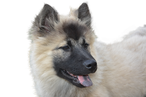 dog  isolated  eurasier dog