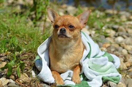 dog  chihuahua  chiwawa
