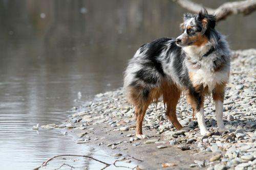 dog australian shepherd canine
