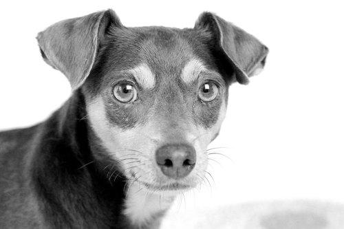 dog  animal  black white