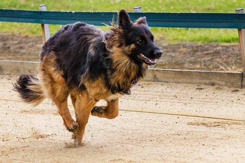 dog  runs  dog racing