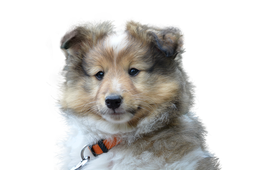 dog  cute  isolated