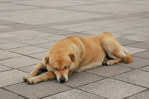 dog  stray dog  brown