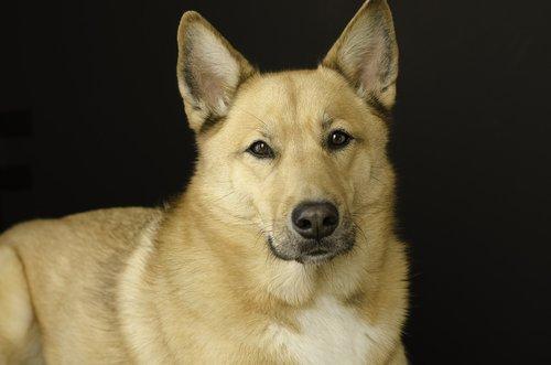 dog  dog portrait  studio portrait