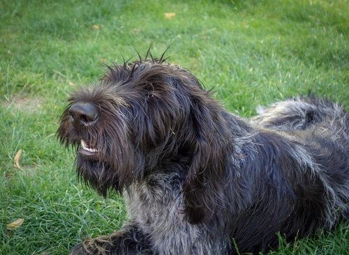 dog  black dog  hunting dog