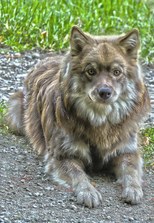 šuo, lapphund, Patinas, grynaveislius, grynaveislis šuo, jauna šuo, veidas, augintinė, gyvūnų fotografijos, gyvūnas, Šuo vadovas, nosis, šunų išvaizdą, Dėmesio, kailis