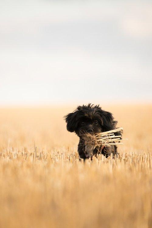 dog  field  stubble