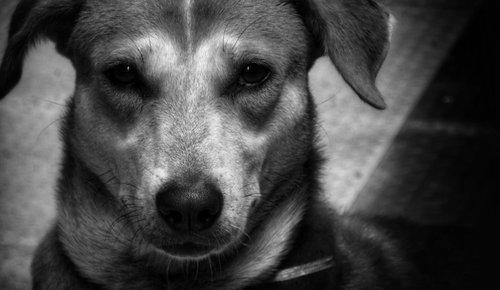 dog  indian pariah  best friend