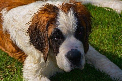 dog  saint-bernard  animals