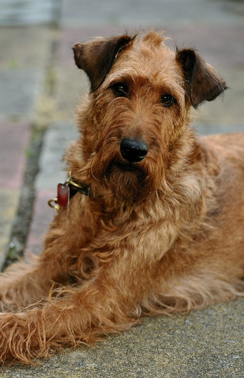 dog  irish terrier  pet