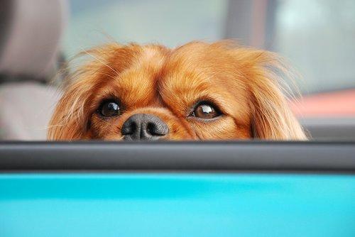 dog  attention  portrait