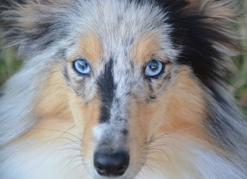 dog  bitch  bitch nobility blue