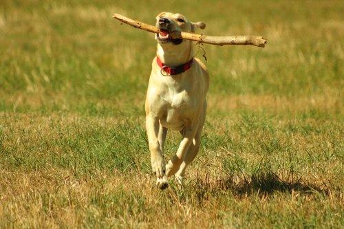 dog  play  batons