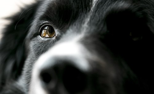 dog  eye  bordercollie