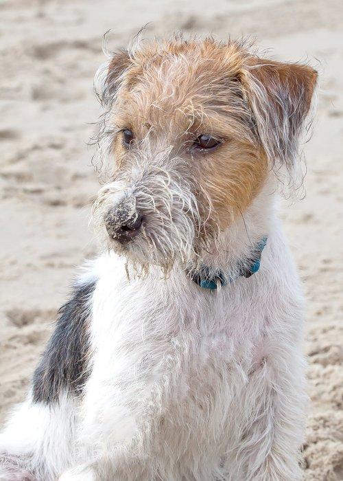 dog  terrier  parson