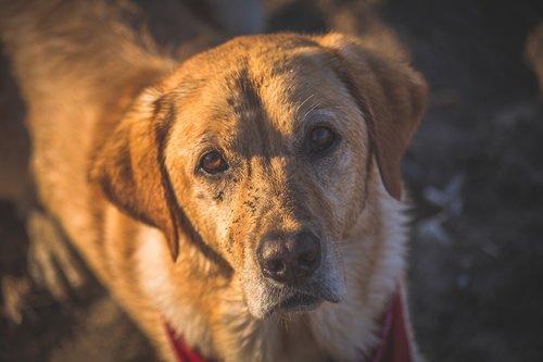 dog  yellow lab  golden retriever