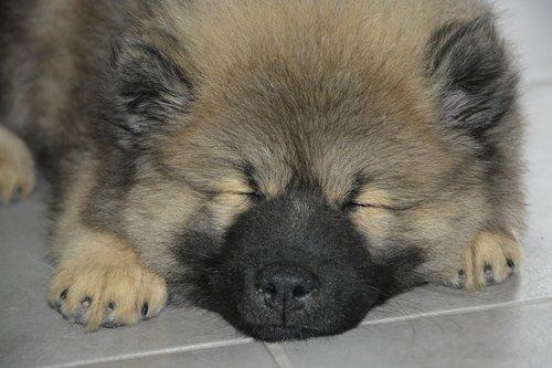 dog  puppy sleeping  pup