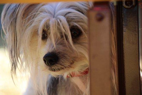 dog  purebred dog  small dog