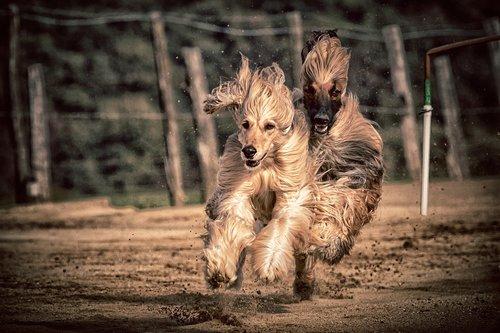 dog  dog racing  greyhounds