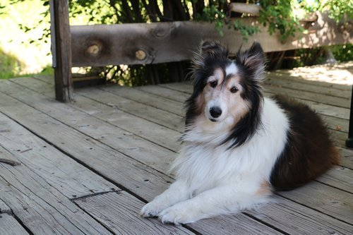dog  collie  pet