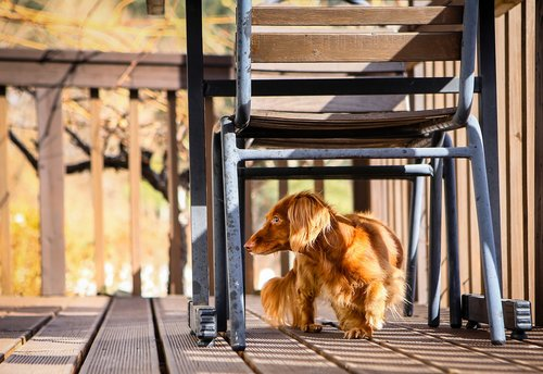 dog  dachshund  animal