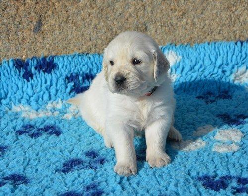 dog  golden retriever puppy  pup
