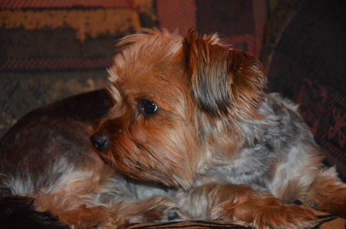 dog  yorkshire  puppy