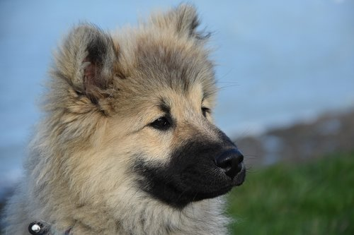 dog  dog portrait  dog eurasier
