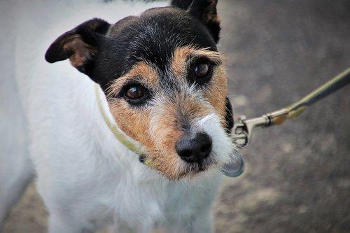 dog  on a leash  look