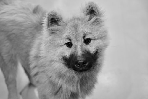 dog  pup  black and white photo