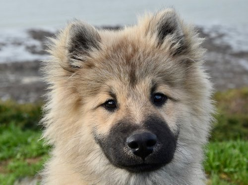 dog  dog eurasier  pup