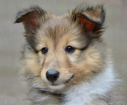 dog  dog shetland sheepdog  pup