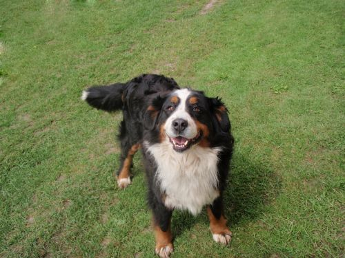 dog bernese mountain dog mountain dog